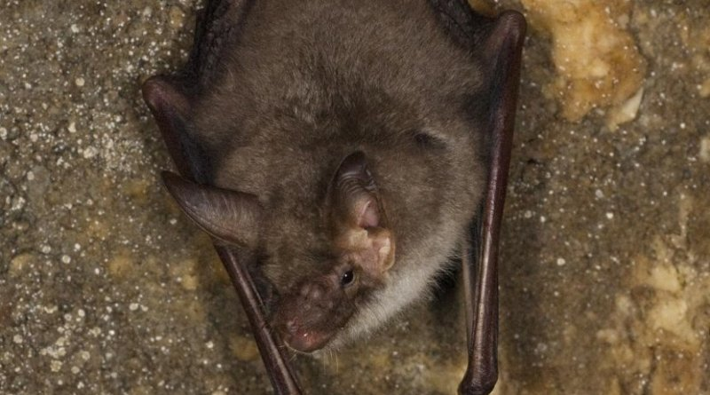 Records show only one greater mouse-eared bat left in Great Britain. Credit Picture courtesy of Henry Schofield/The Mammal Society
