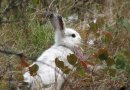 This is a mismatched snowshoe hare in its white winter coat. Credit L. Scott Mills Research Photo