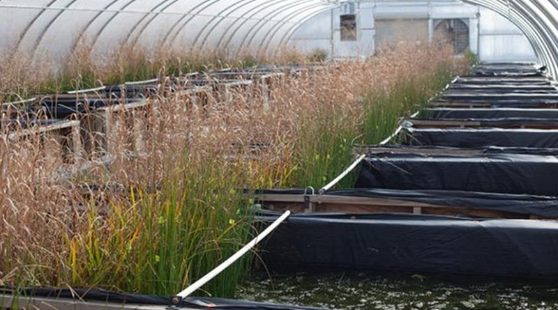 Simulated wetlands at the Center for the Environmental Implications of Nanotechnology. Credit Photo by Steven Anderson, Duke University.