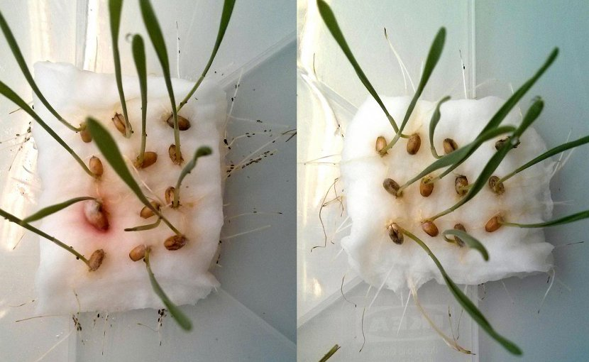 A team from the Technical University of Munich (TUM) has developed a biodegradable agent that keeps pests at bay without poisoning them: like mosquito repellent used by bathers in the summer, biotechnologically produced cembratrienol deters voracious insects. If aphids have the choice between wheat seedlings with (right) and without CBT-ol treatment (left), they avoid the treated seedlings. Credit Wolfgang Mischko / TUM