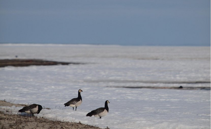 This picture shows barnacle geese. After nearly non-stop migration, in an attempt to cope with a rapidly warming Arctic, the geese need time on the breeding grounds to build up body stores before they can start laying eggs. Credit Thomas Lameris/NIOO-KNAW