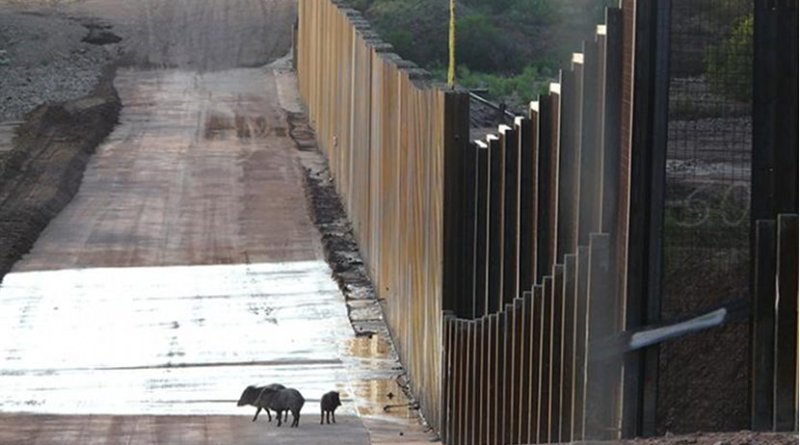 A family of javelinas encounters the wall on the U.S.-Mexico border near the San Pedro River in southeastern Arizona. Credit Matt Clark / Defenders of Wildlife