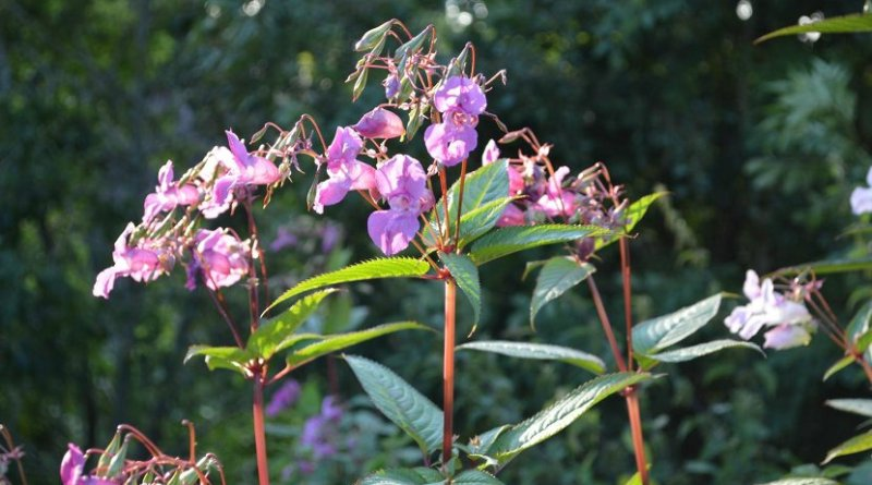 This is a Himalayan balsam. Credit Nigel Willby