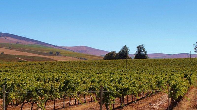 Vineyard in South Africa.