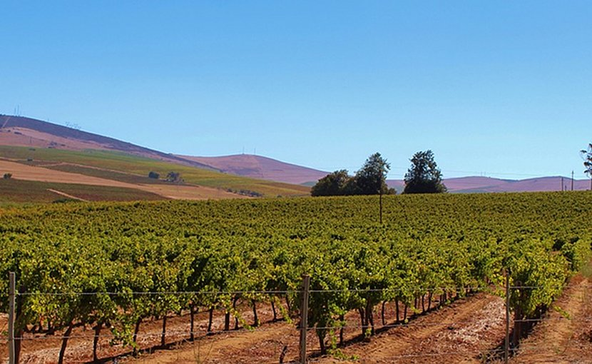 Vineyard in South Africa.
