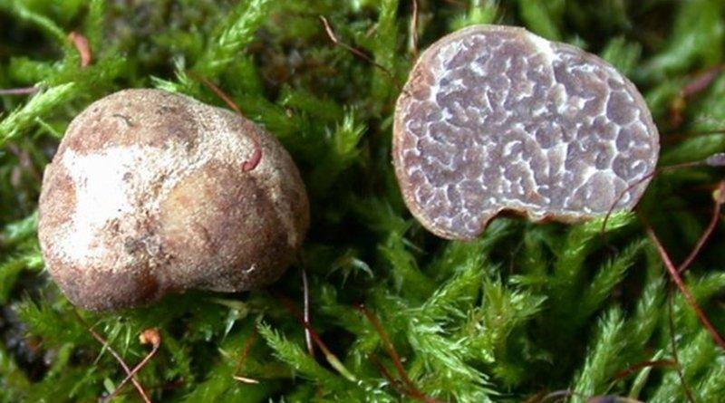 The Tuber brennemanii specimen on the left shows the rough, knobby exterior of the mushroom while the halved specimen on the right shows the interior. Credit Photo courtesy of Rosanne Healy