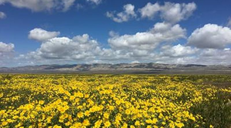 Wildflowers in bloom across the Carrizo Plain, shown in 2016. Credit Laura Prugh/University of Washington