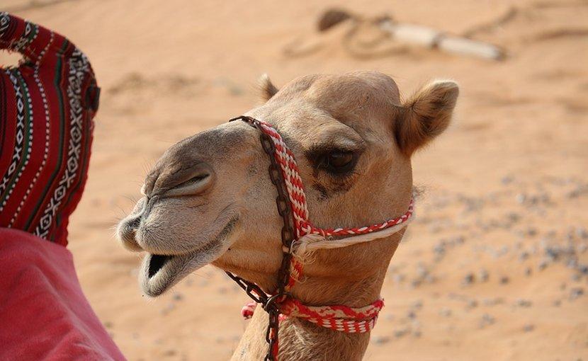 A camel in Saudi Arabia