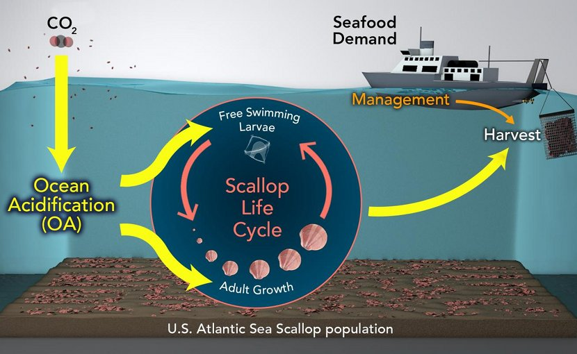 Conceptual diagram of the model that links sea scallop population dynamics, (pink) possible climate change and ocean acidification impacts (yellow), and economic development and management strategies. Credit (Illustration by Natalie Renier, Woods Hole Oceanographic Institution)