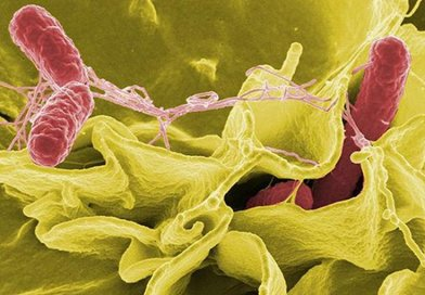 UC Davis researchers have made a breakthrough in understanding which cells afford optimal protection against Salmonella infection -- a critical step in developing a more effective and safe vaccine against a bacterium that annually kills an estimated one million people worldwide. This image shows Salmonella (in red) invading human cells. Credit Rocky Mountain Laboratories, NIAID, NIH