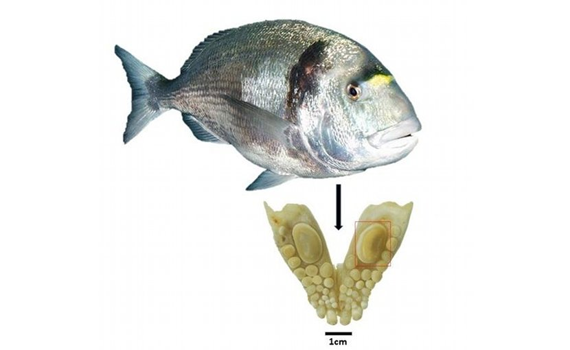 Jaw with a durophagous dentition consisting of teeth with thick enamel of the gilthead sea bream (Sparus aurata): The large molariform tooth was used for oxygen isotope analysis and to estimate the size of the fish. Credit: Guy Sisma-Ventura, Israel