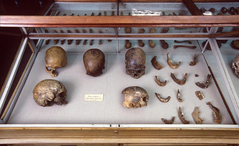These are skulls and other human remains from P.W. Lund's Collection from Lagoa Santa, Brazil kept in the Natural History Museum of Denmark. Credit Natural History Museum of Denmark