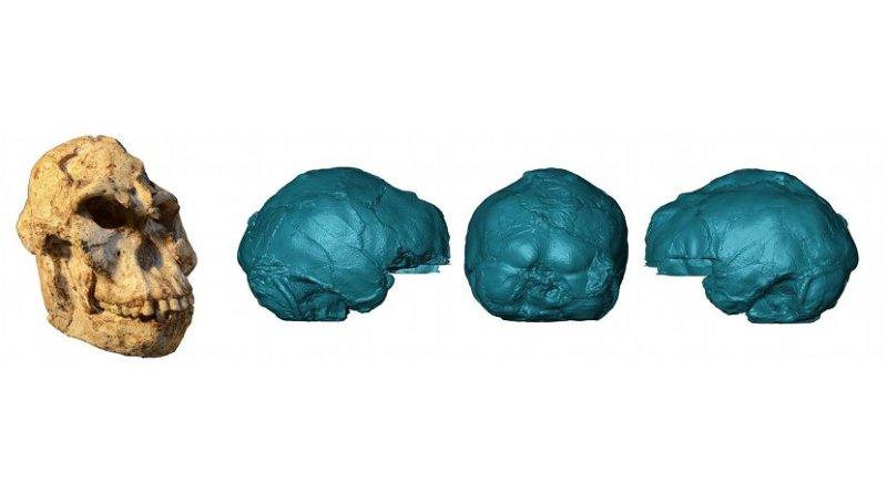 """Virtual rendering of the brain endocast of """"Little Foot"""". Photo of the original skull by M. Lotter and R.J. Clarke. Credit Wits University"""