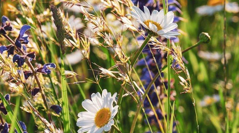 meadow field grass flowers