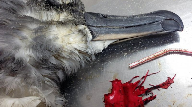 This is a grey headed albatross autopsy with balloon debris. Credit Lauren Roman