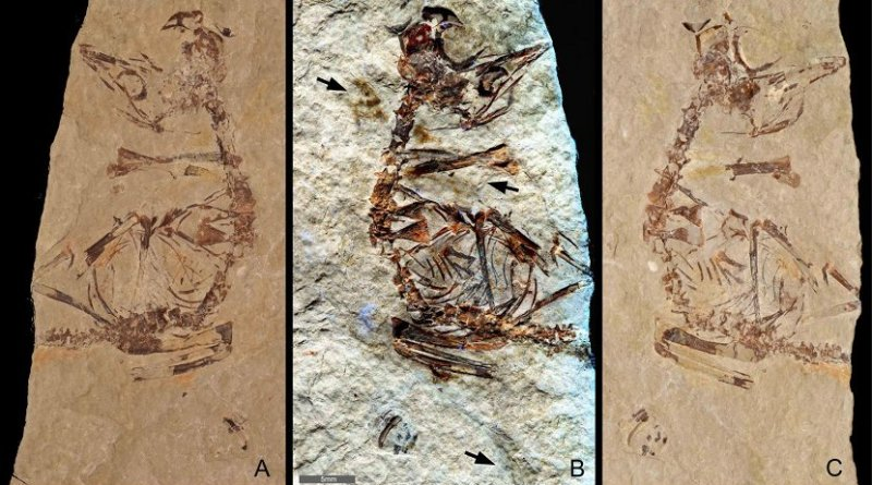 """Feathers revealed in a ~125 million-year-old fossil of a bird hatchling shows it came """"out of the egg running"""". Specimen MPCM-LH-26189 from Los Hoyas, Spain is preserved between two slabs of rock: (a) 'counter' slab under normal light (b) Laser-Stimulated Fluorescence (LSF) image combining the results from both rock slabs. This reveals brown patches around the specimen that include clumps of elongate feathers associated with the neck and wings and a single long vaned feather associated with the left wing. (c) Normal light image of the main slab. Scale is 5mm. Image Credit: Kaye et al. 2019 Credit @Kaye et al. 2019"""