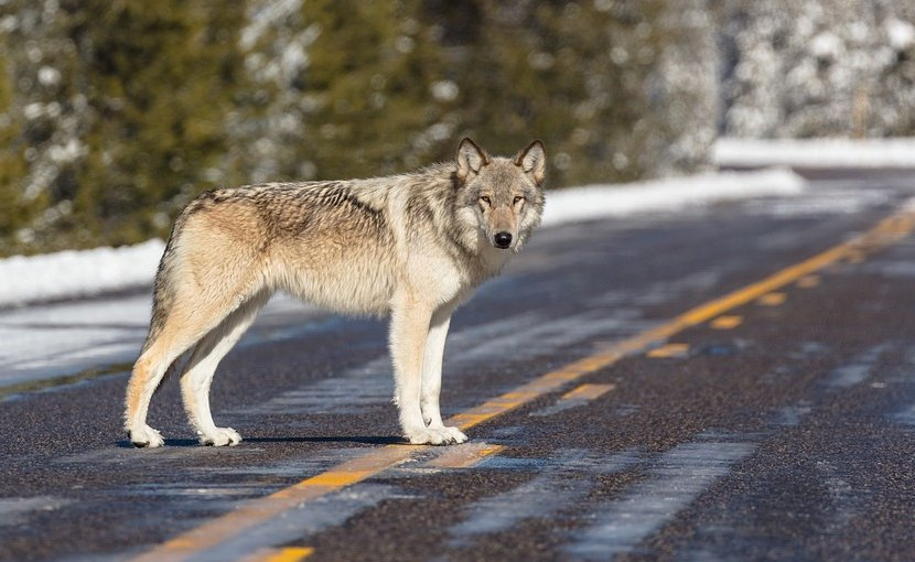 A wolf in Yellowstone Park, USA