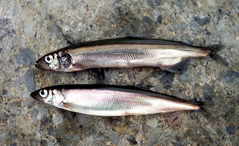 Male and female capelin. Credit: The Navigator