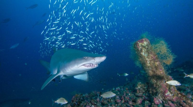 Shipwrecks off the North Carolina coast are important habitats for sand tiger sharks, a fierce-looking but docile species whose population plummeted in the 1980s and '90s and is now listed as globally vulnerable by IUCN. Credit John McCord, Coastal Studies Institute