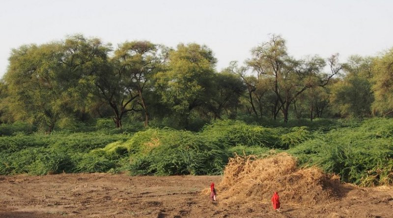 Prosopis clearing along the Awash river in Ethiopia. Credit CABI