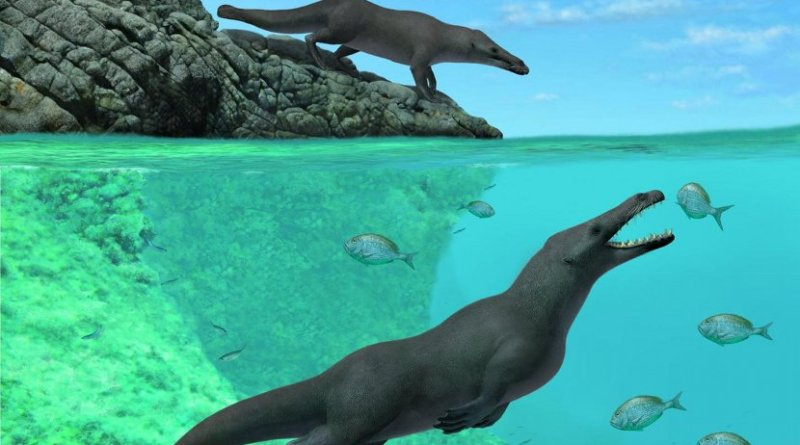 This illustration shows an artistic reconstruction of two individuals of Peregocetus, one standing along the rocky shore of nowadays Peru and the other preying upon sparid fish. The presence of a tail fluke remains hypothetical. Credit A. Gennari