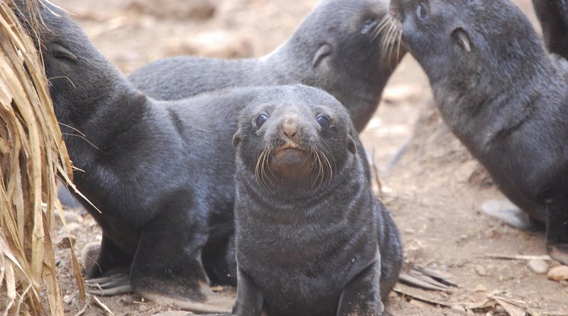 On Chile's Guafo Island, all South American fur seal pups show some degree of hookworm infection. Credit Dr. Mauricio Seguel, University of Georgia