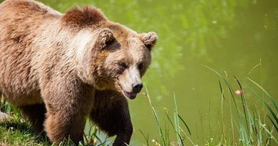 Brown bear in the Pyrenees. Photo Credit: Moncloa, Spanish government