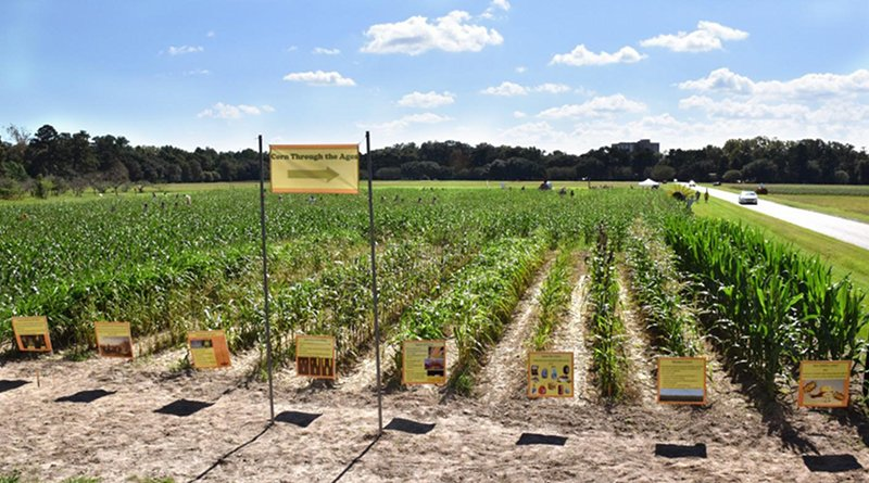 A demonstration plot at an annual corn maze event showing the history of the domestication of corn (Zea mays L.) from its wild ancestor through selection, hybridization, and genetic modification. The demonstration plot is also used to educate the public about agricultural crops in general and their importance to human nutrition. Credit Krishnan et al.