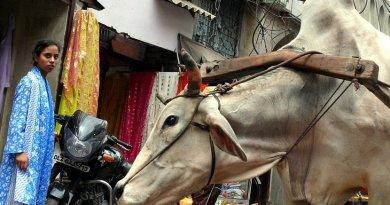 cow market india new delhi