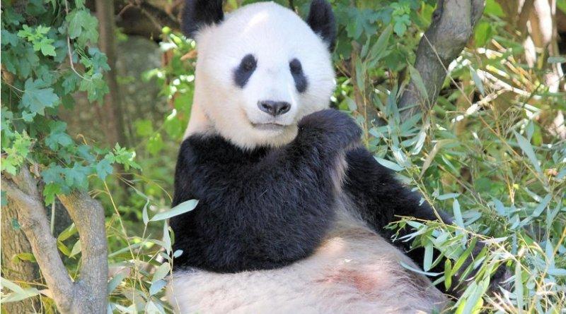Pandas have a strange mix of have herbivore and carnivore traits. Credit Pixabay veverkolog