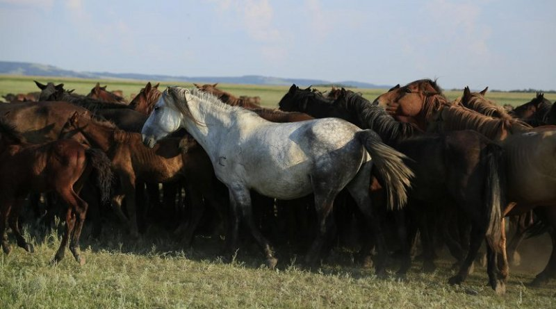 This image shows a herd of Kazakh horses in the Pavlodar region of Kazakhstan in August 2016. Credit Ludovic Orlando