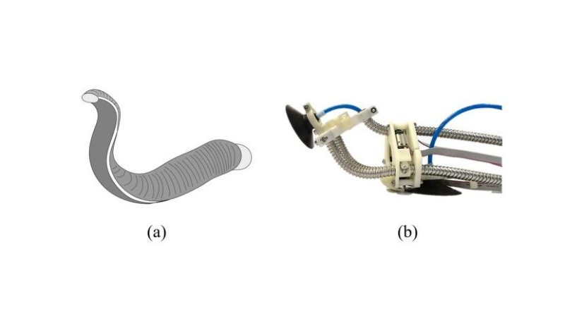 Schematic of proposed climbing robot. (a) Real leech. (b) LEeCH (Longitudinally Extensible Continuum-robot inspired by Hirudinea). Credit COPYRIGHT (C) TOYOHASHI UNIVERSITY OF TECHNOLOGY. ALL RIGHTS RESERVED.
