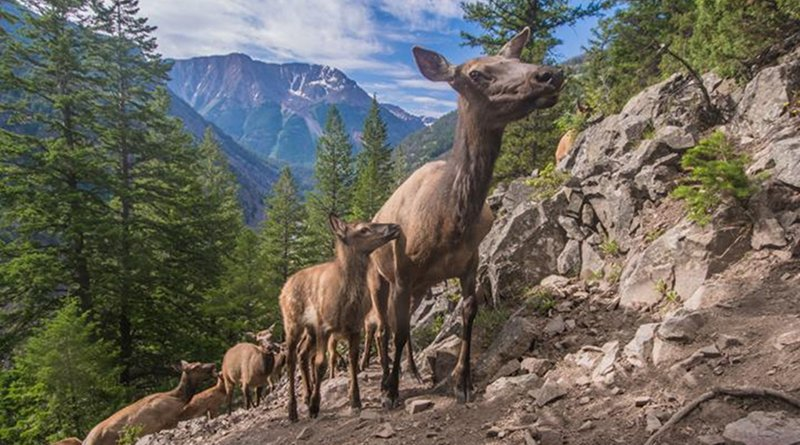 Yellowstone's migrating elk use climate cues, like melting snow and greening grasses, to decide when to make the trek from their winter ranges in prairies and valleys to their summer ranges in high mountain plateaus, shows a new UC Berkeley-led study. Credit Joe Riis