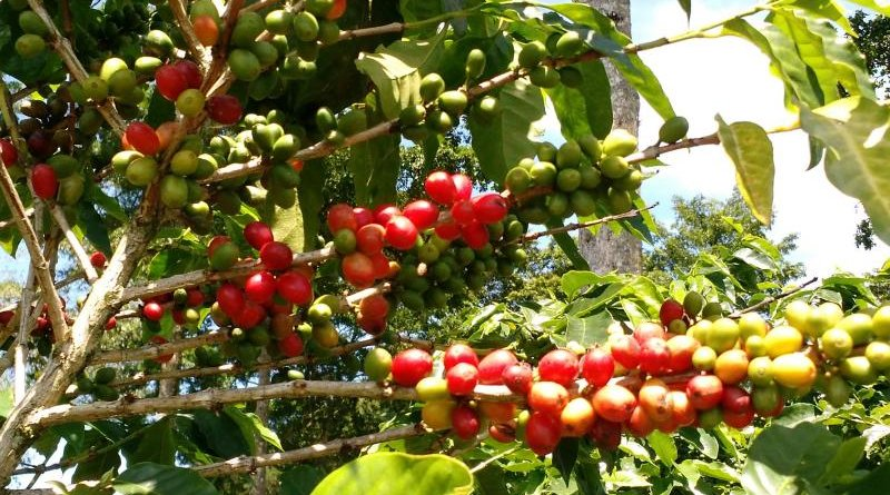 Coffee and cocoa are both traditionally grown under tree shade in order to reduce heat stress and conserve soil. Credit Bioversity International/K.DeSousa