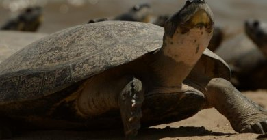 An adult charapa or Giant South American river turtle. Credit Mauricio