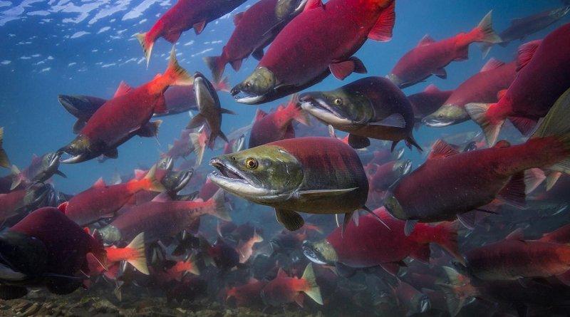 Adult sockeye salmon returning to spawn in the lakes of Bristol Bay, Alaska. Credit Jason Ching/University of Washington
