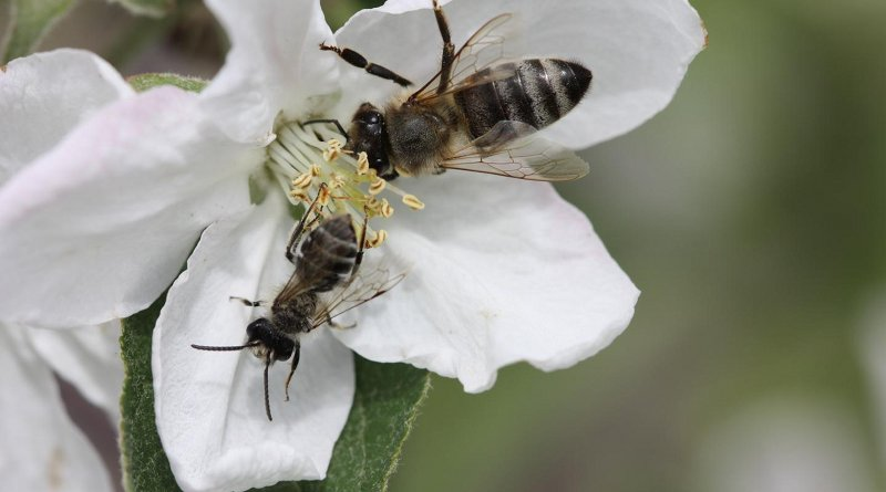A honey bee worker and a male mining bee on an apple flower. Credit Martin Husemann