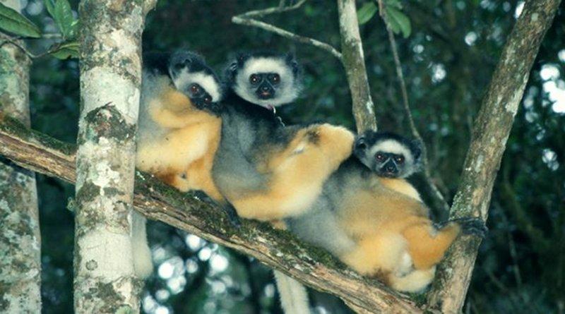 A 2003 photo of three sub-adult lemurs resting in a pristine area of Madagascar's Tsinjoarivo rainforest. Credit Mitch Irwin, Northern Illinois University