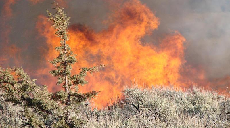Prescribed burning maintains sagebrush dominance longer in the face of encroaching western juniper, helping save endangered sage grouse habitat. CREDIT ARS-USDA