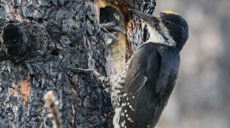 A Black-backed Woodpecker visits its nest in a burned tree trunk. Credit Jean Hall