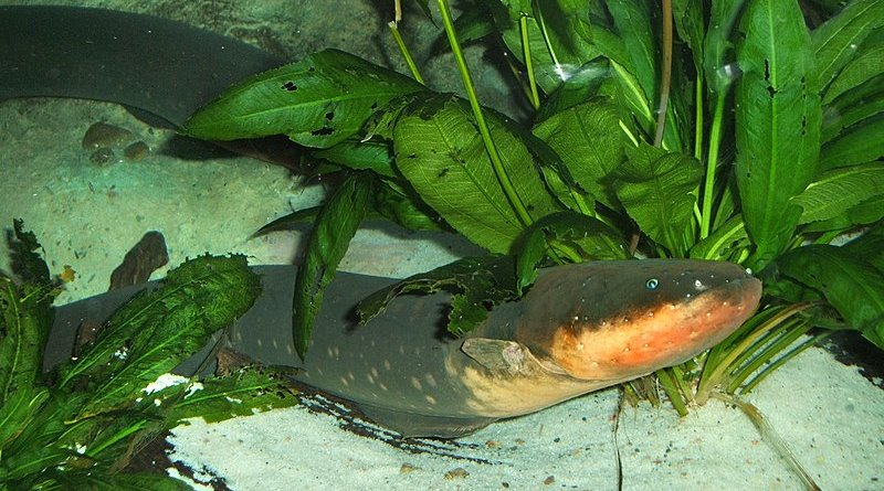 Electric eel. Photo Credit: Steven G. Johnson, Wikipedia Commons