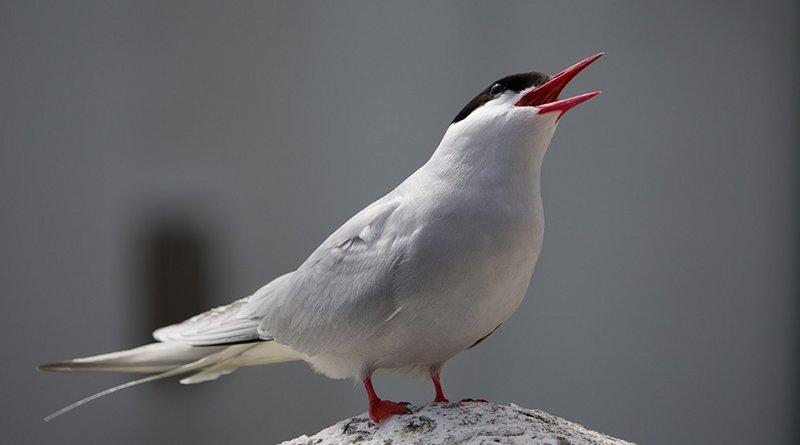 An Arctic tern bird