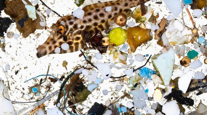 A scribbled filefish in a sea of plastics sampled in surface slicks off Hawai'i Island. Credit Photograph courtesy of David Liittschwager