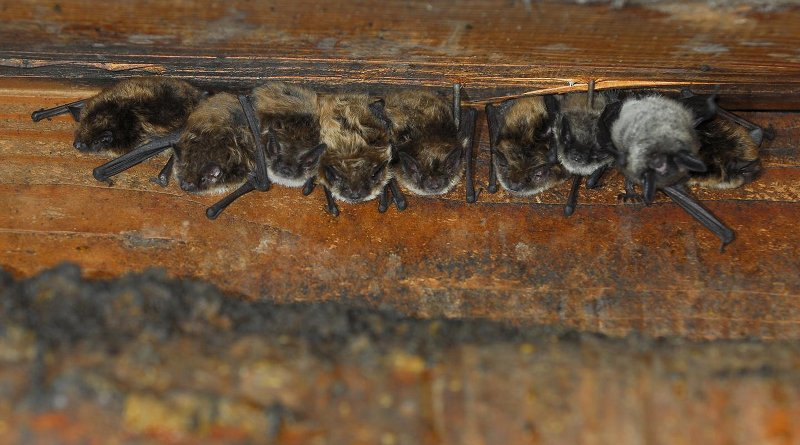 """Pregnant little brown bats huddle together in """"maternity colonies"""" to conserve warmth, as they are unable to regulate their body temperature. CREDIT Photo courtesy of NPS."""
