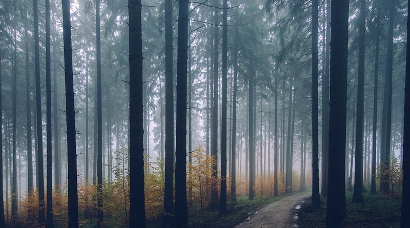 conifer trees forest path