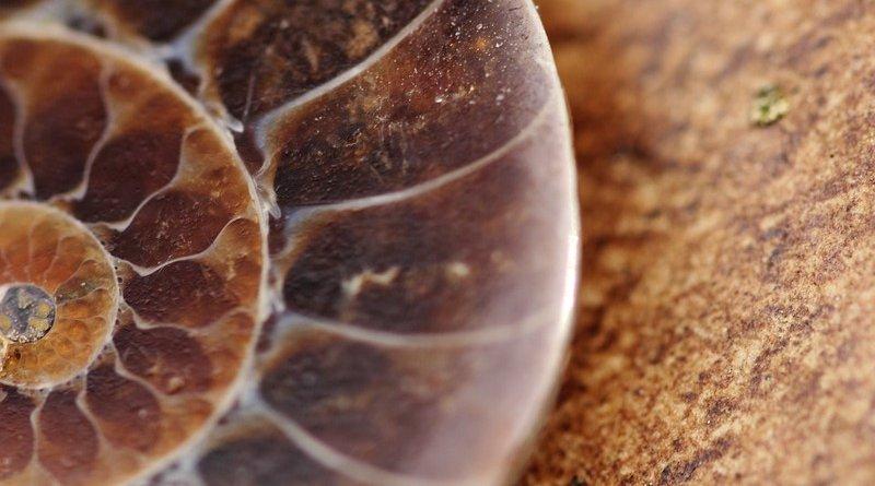 fossil shell snail