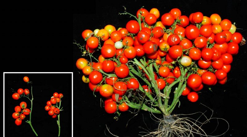 When three specific genetic mutations are combined and tuned just right, scientists can turn tomato plants into extremely compact bushes ideal for urban agriculture. Just two of these mutations (insert, left) shortens the normally vine-like plants to grow in a field, but all three (insert, right) causes their fruits to bunch like grapes. Researchers cut away the plant's leaves for a clearer view of the new tomatoes. CREDIT Lippman lab/CSHL, 2019