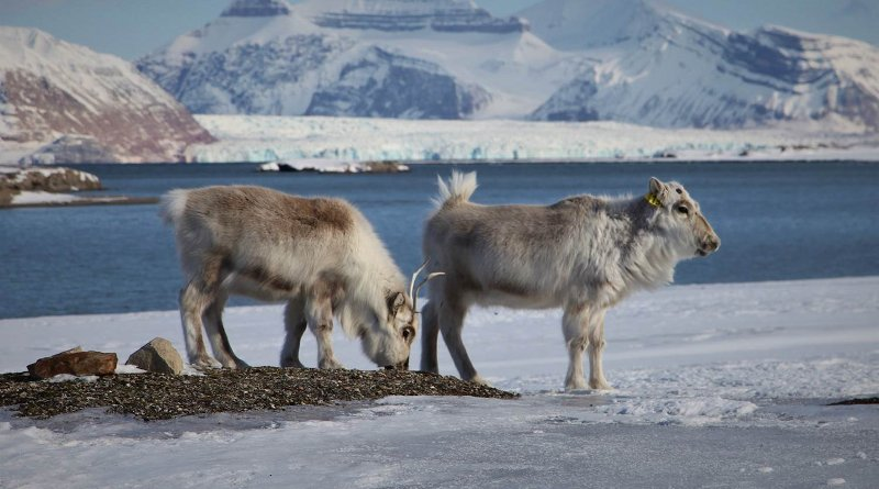 Reindeer grazing on an open patch of vegetation surrounded by ice and snow. Photo: Brage B. Hansen