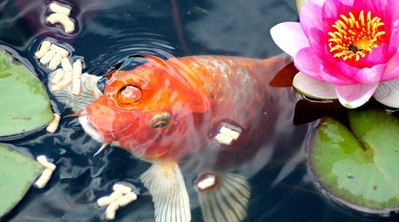 goldfish garden water lilly pond