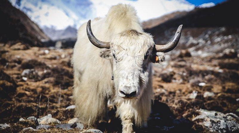 yak himalayas